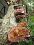 2 pieczarkowy drzewo Fotografia Stock