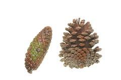 2 pinecones Стоковое Изображение RF