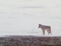 2 plaines de coyote occidentales Photographie stock