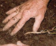 2 plantera potatisar Royaltyfria Foton