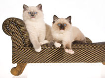 2 Playful Ragdoll kittens on brown couch Stock Photo