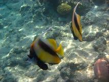 2 poissons de rapporteur Image libre de droits