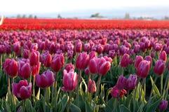 2 pola nr tulipanów Zdjęcie Stock