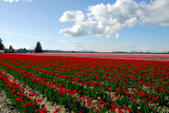 2 pola tulipanowego Obrazy Royalty Free