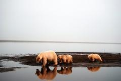 2 polara björnar Arkivfoton