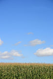 2, pole kukurydzy zdjęcie royalty free