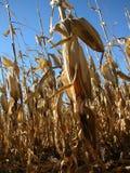 2, pole kukurydzy Zdjęcie Stock