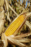 2, pole kukurydzy Obrazy Stock
