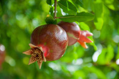 2 pomegranates на ветви Стоковая Фотография RF