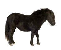 2 ponnyshetland år Arkivbild