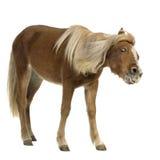 2 ponnyshetland år Arkivfoton