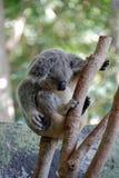 2 ponoszą koala Zdjęcie Stock