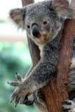 2 ponoszą koala Zdjęcie Royalty Free