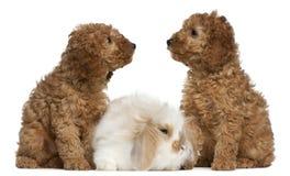 2 poodle μηνών κουνελιών κουταβ& Στοκ Εικόνες