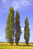 2 poplartrees Royaltyfri Fotografi