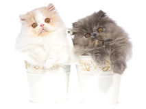 2 pretty Persian kittens in white buckets. Cute Persian kittens sitting inside white cream pails buckets, on white background royalty free stock photography