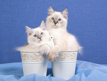2 pretty Ragdoll kittens in buckets. 2 pretty Ragdoll kittens sitting inside buckets on blue background Royalty Free Stock Image