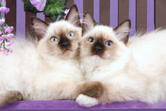 2 pretty Ragdoll kittens hugging. Portrait of 2 pretty Ragdoll kittens hugging Stock Images