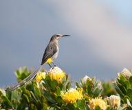 2 przylądków sugarbird Obraz Royalty Free