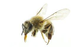 2 pszczół macro Zdjęcia Royalty Free