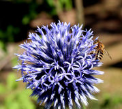 2 pszczół Obraz Stock