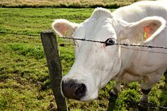 2. PUBLIC DOMAIN DEDICATION digionbew 10. june july Cow peering at photog from barb wire LOW RES DSC02548 Royalty Free Stock Images