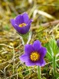 2 Purple Flowers Stock Image