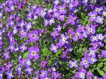 2 purpura blommor Arkivbilder