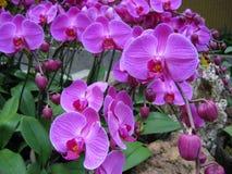 2 purpura orchids royaltyfri bild