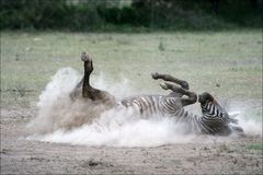 2 pył zebra Obrazy Royalty Free