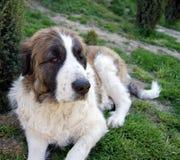 2 pyrean的大型猛犬 免版税库存照片