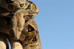 2 pytonów wąż Obraz Royalty Free