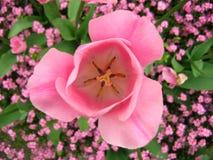 2 różowy tulipan zdjęcia stock