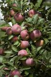 2 röda äpplen arkivfoto