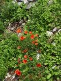 2 röda papavers Royaltyfri Bild