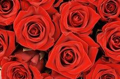 2 röda ro Arkivbilder