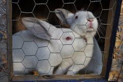 2 rabits blancos en una jaula Foto de archivo libre de regalías