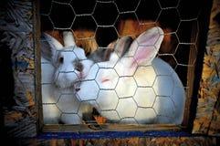 2 rabits blancs dans une cage Photographie stock