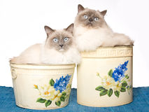 2 Ragdoll cats inside bins Stock Photography