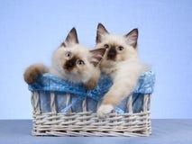 2 Ragdoll Kätzchen, die im weißen Korb sitzen Stockfoto