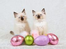 2 Ragdoll Kätzchen mit Ostereiern Stockfoto