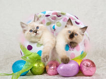 2 Ragdoll kittens in Easter egg. 2 Pretty Ragdoll kittens sitting inside colorful Easter egg with shiny eggs in foreground, on cream white taffeta background royalty free stock image