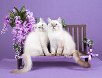 2 Ragdoll kittens on miniature bench. 2 Ragdoll kittens sitting on miniature wooden bench decorated with purple wisteria flowers Stock Image