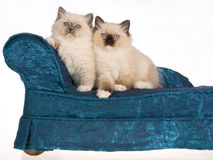 2 Ragdoll kittens sitting on blue sofa Stock Photo