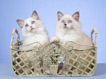 2 Ragdoll kittens in wrought iron container Royalty Free Stock Photography