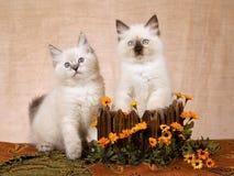 2 Ragdoll Kätzchen im hölzernen Kasten Stockfotografie