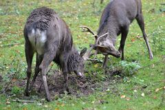 2 Reindeer on Grass Field Stock Photo