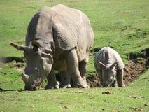 2 rhinos Fotografering för Bildbyråer