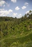 2 ricefield 图库摄影