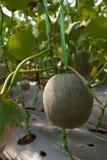 2 rolny melon Obrazy Royalty Free